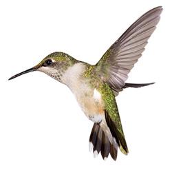 Колибри — птица, картинка цветная