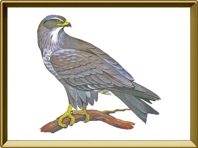 Коршун — птица, фото в рамке №1
