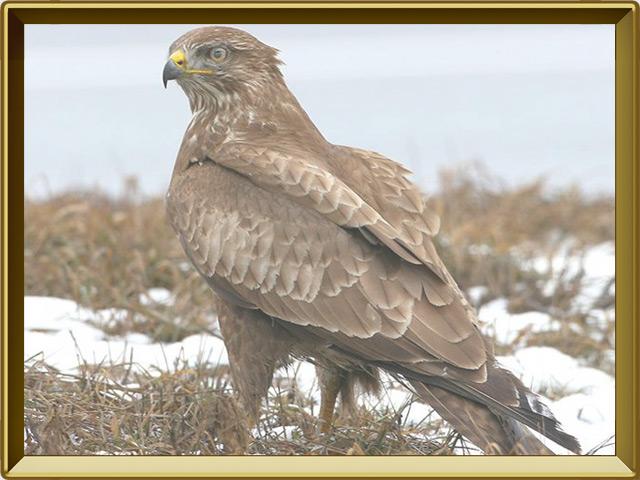 Коршун — птица, фото в рамке №2