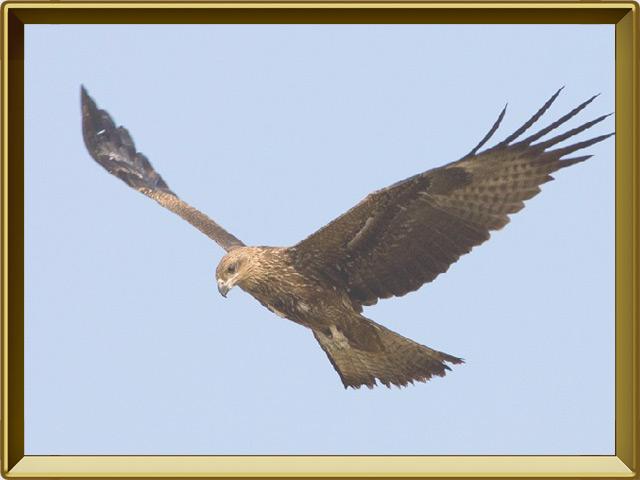 Коршун — птица, фото в рамке №3