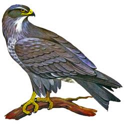 Коршун — птица, картинка цветная