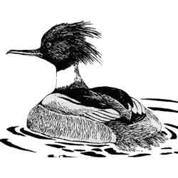 Крохаль — птица, картинка чёрно-белая