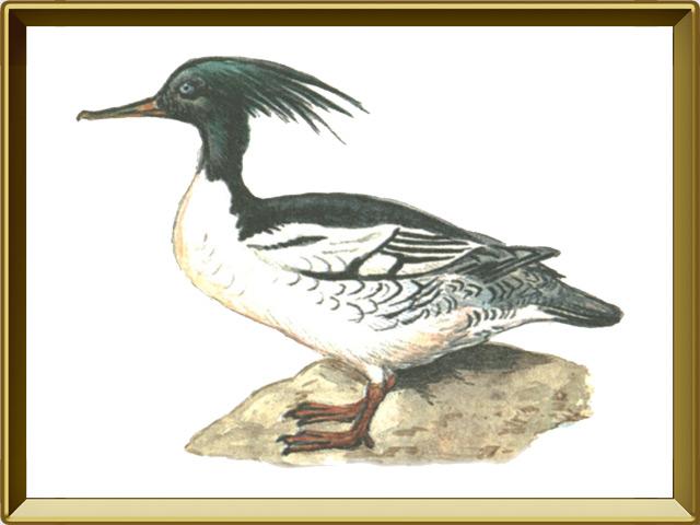 Крохаль — птица, фото в рамке №1