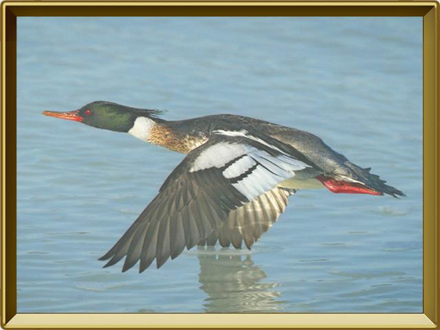 Крохаль — птица, фото в рамке №3