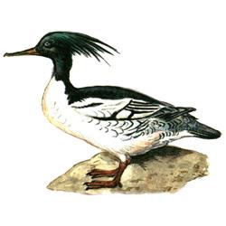 Крохаль — птица, картинка цветная