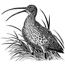 Кроншнеп — птица, картинка чёрно-белая