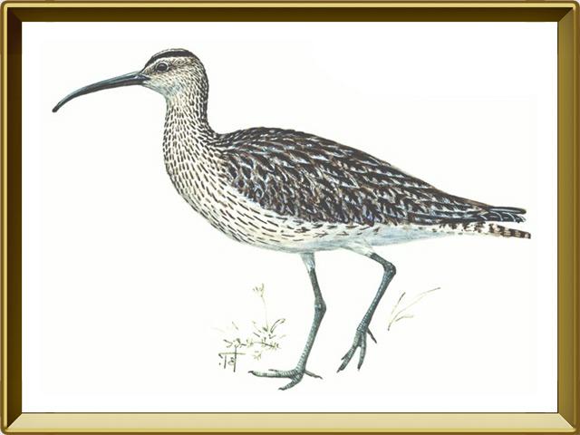 Кроншнеп — птица, фото в рамке №1