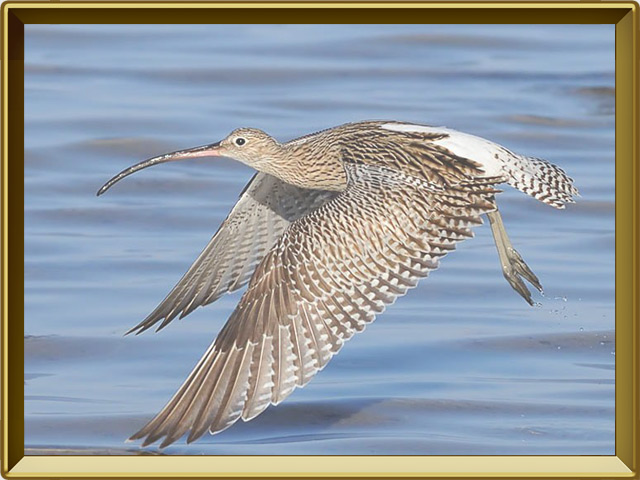 Кроншнеп — птица, фото в рамке №3
