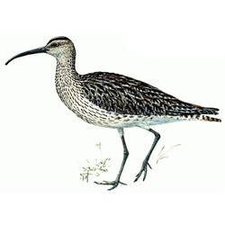 Кроншнеп — птица, картинка цветная