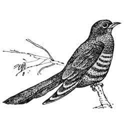 Кукушка — птица, картинка чёрно-белая