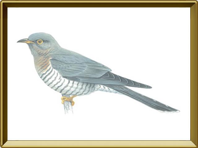 Кукушка — птица, фото в рамке №1