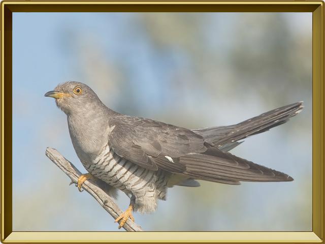 Кукушка — птица, фото в рамке №2