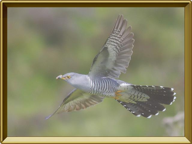 Кукушка — птица, фото в рамке №3