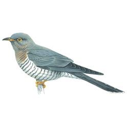 Кукушка — птица, картинка цветная