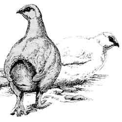 Куропатка — птица, картинка чёрно-белая