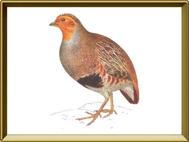Куропатка — птица, фото в рамке №1