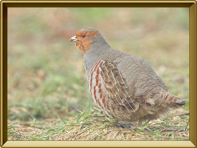Куропатка — птица, фото в рамке №2