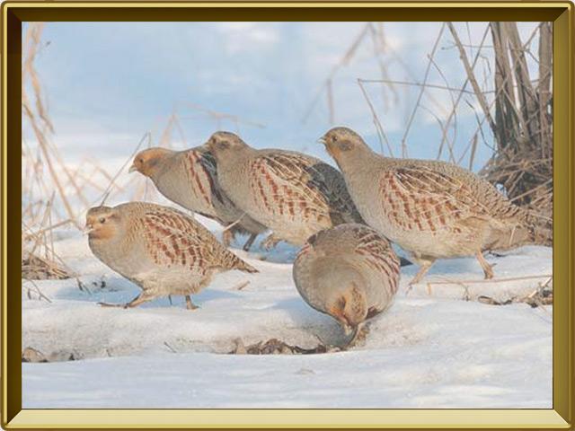 Куропатка — птица, фото в рамке №3