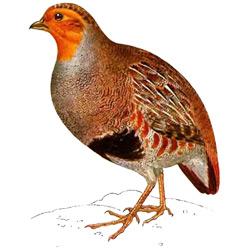 Куропатка — птица, картинка цветная