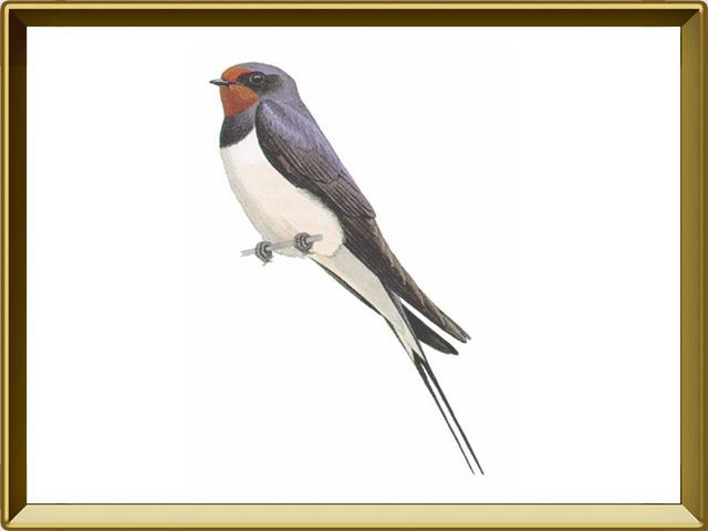 Ласточка — птица, фото в рамке №1