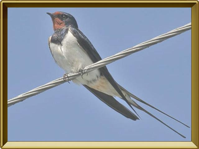 Ласточка — птица, фото в рамке №2