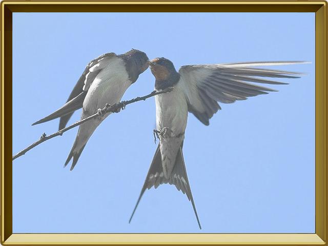 Ласточка — птица, фото в рамке №3