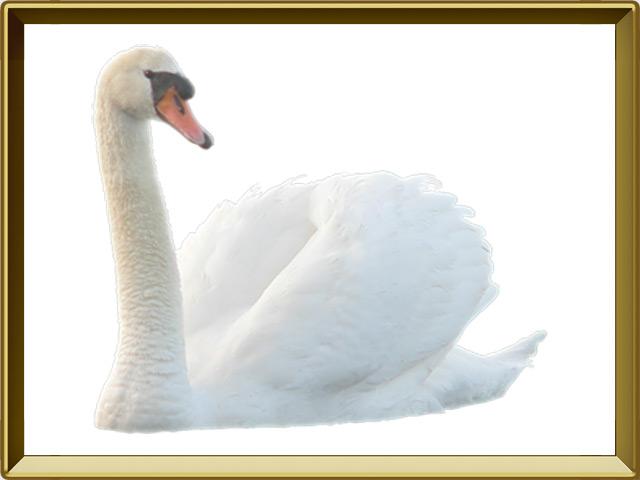 Лебедь — птица, фото в рамке №1
