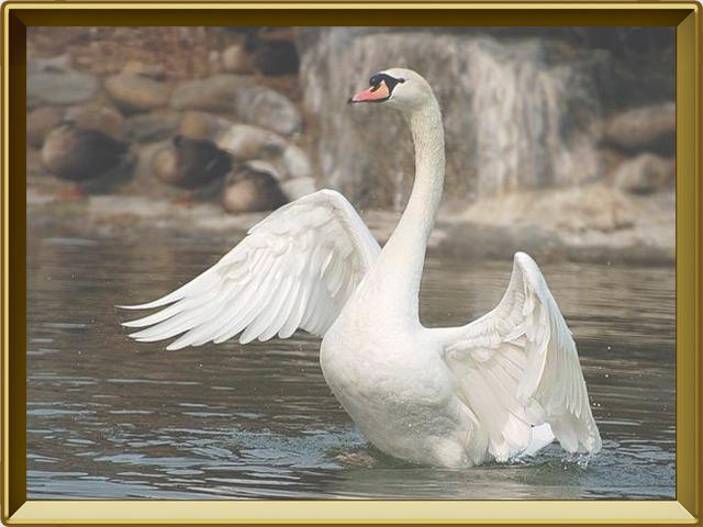 Лебедь — птица, фото в рамке №2