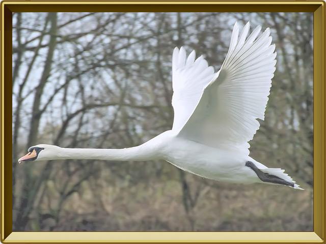 Лебедь — птица фото в рамке №3