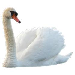 Лебедь — птица, картинка цветная