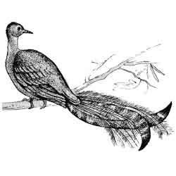 Лирохвост — птица, картинка чёрно-белая