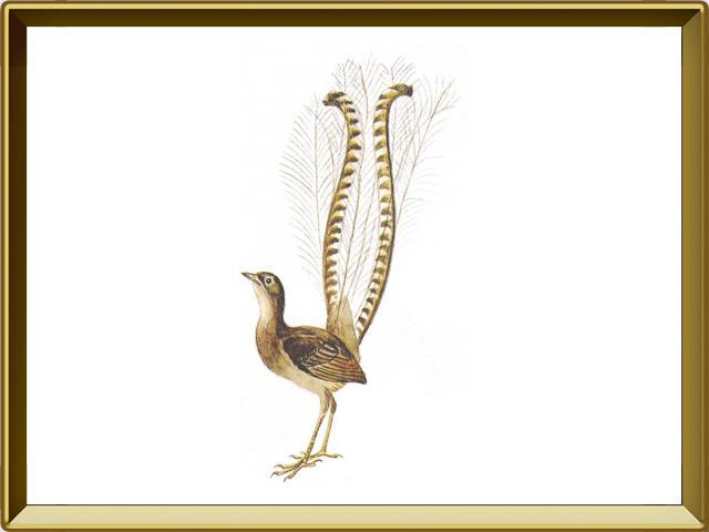 Лирохвост — птица, фото в рамке №1