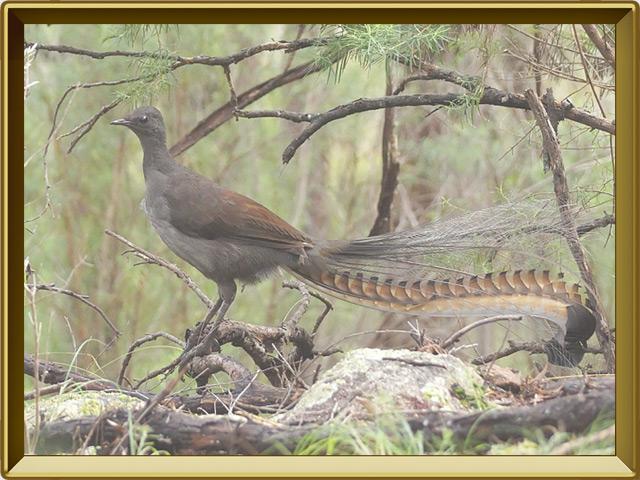 Лирохвост — птица, фото в рамке №2