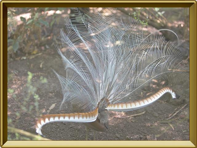 Лирохвост — птица, фото в рамке №3