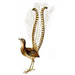 Лирохвост — птица, картинка цветная