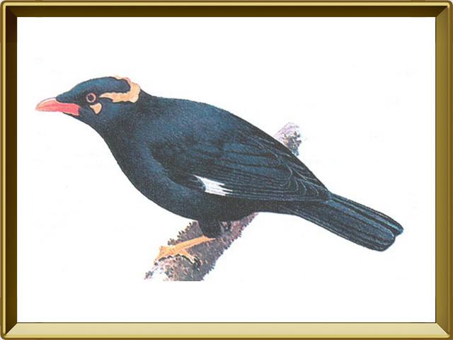 Майна — птица, фото в рамке №1