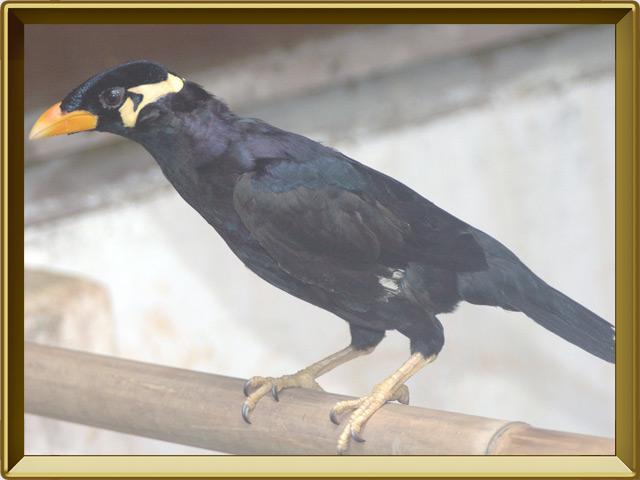 Майна — птица, фото в рамке №2