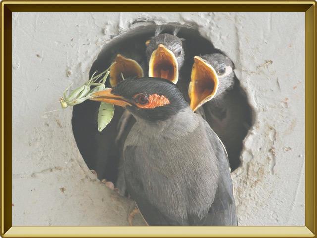 Майна — птица, фото в рамке №3