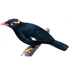 Майна — птица, картинка цветная