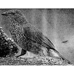 Мёдоуказчик — птица, картинка чёрно-белая