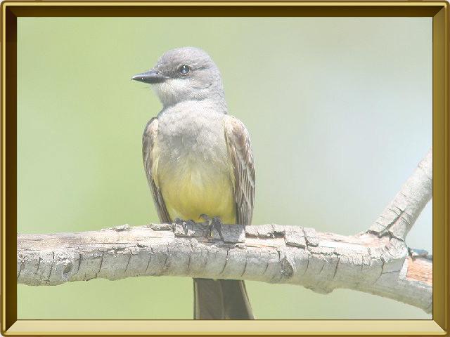 Мёдоуказчик — птица, фото в рамке №2