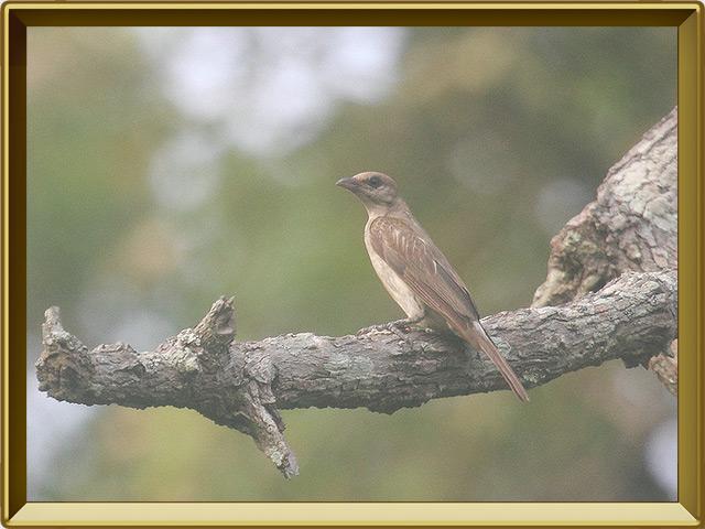 Мёдоуказчик — птица, фото в рамке №3