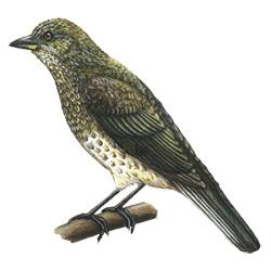 Мёдоуказчик — птица, картинка цветная