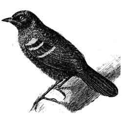 Муравьеловка — птица, картинка чёрно-белая