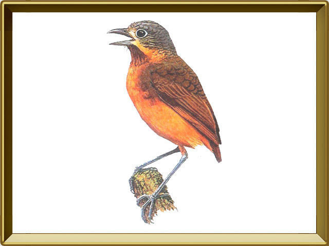 Муравьеловка — птица, фото в рамке №1