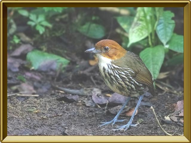 Муравьеловка — птица, фото в рамке №2