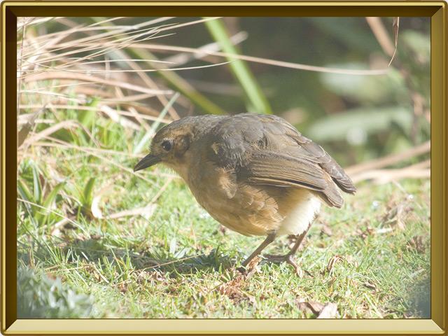 Муравьеловка — птица, фото в рамке №3