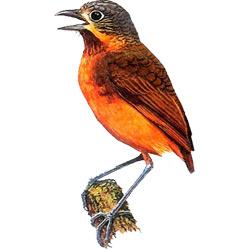 Муравьеловка — птица, картинка цветная