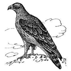 Орёл-карлик — птица, картинка чёрно-белая