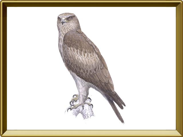 Орёл-карлик — птица, фото в рамке №1